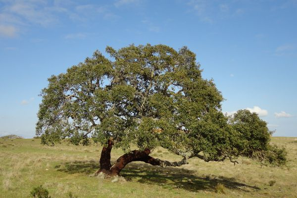 Cork oak, Baixo Alentejo, Portugal