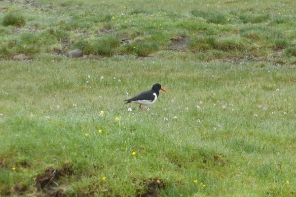Oystercatcher, Faroe Islands