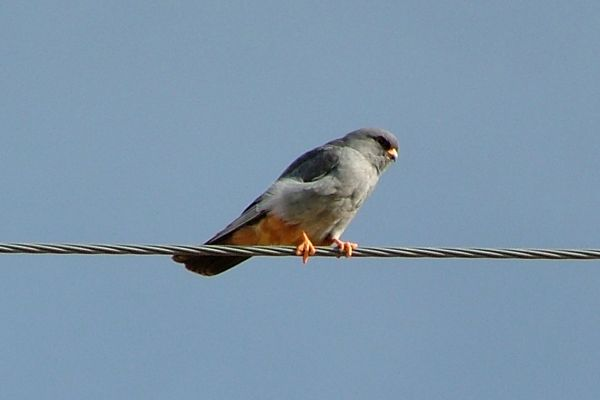 Red-footed falcon, North Cyprus