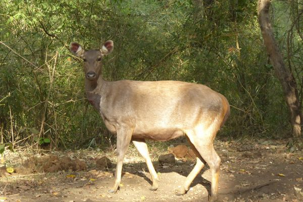 Sambar in the Bhadra Wildlife Sanctuary