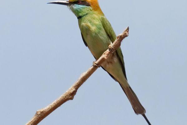 Green bee-eater (Merops orientalis), India