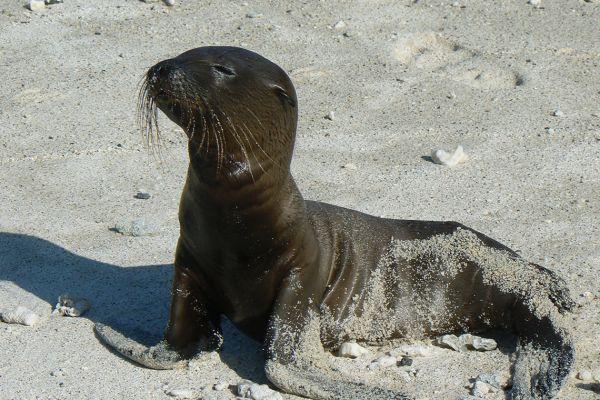 Fur seal pup, Galapagos Islands