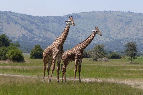 Akagera National Park, giraffes