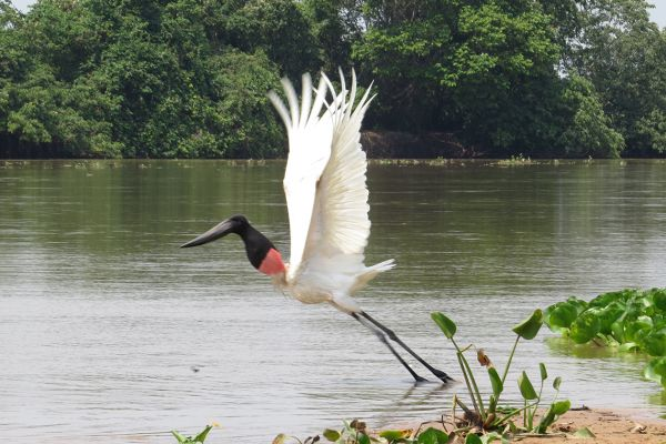 Jabiru stork taking flight, Pantanal, Brazil