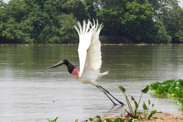 Jabiru stork taking flight, Pantanal, Brazil