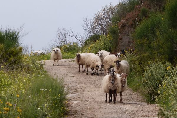 Typical flock of sheep on a Corfu walk