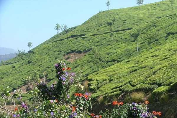 Tea growing in the Western Ghats, India