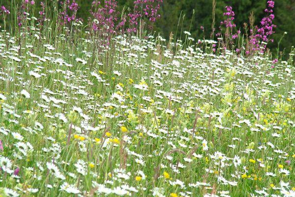 Meadow full of wildflowers, Romania
