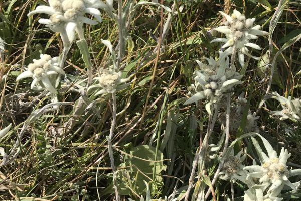 Edelweiss in Kyrgyzstan