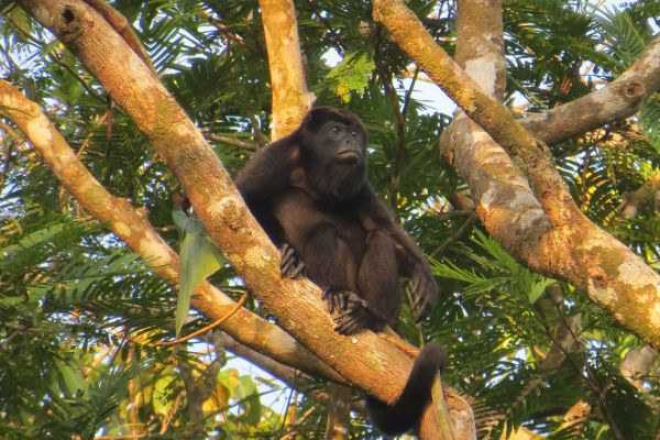 Black Howler monkey, Costa Rica