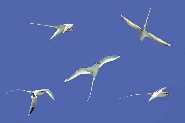 White-tailed tropicbird, the national bird of Réunion