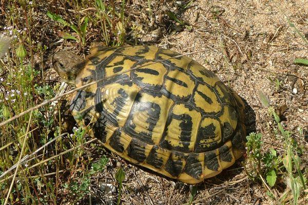 Hermann's tortoise, Menorca