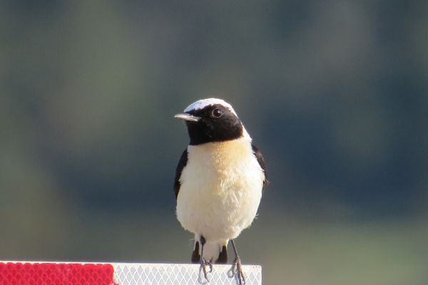 Cyprus Pied Wheatear in North Cyprus