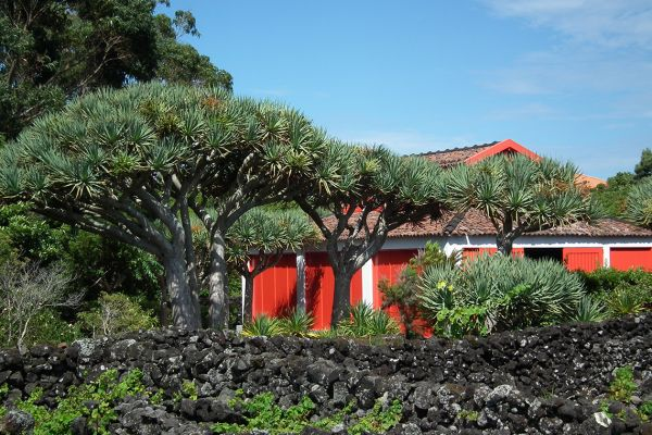 Dragon's blood tree (Dracaena cinnabari), Azores