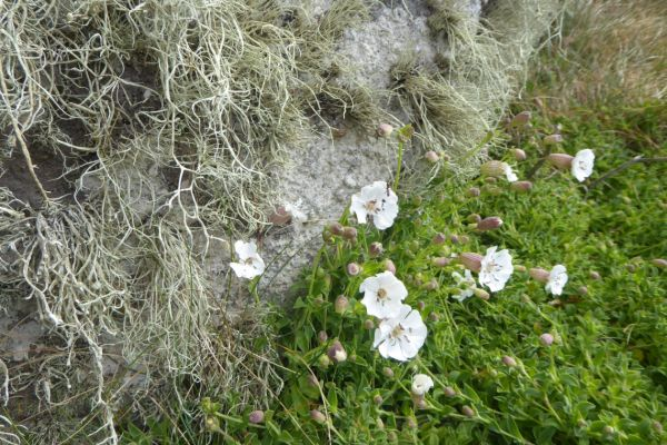 Sea Campion on the South West Coast Path near Cape Cornwall