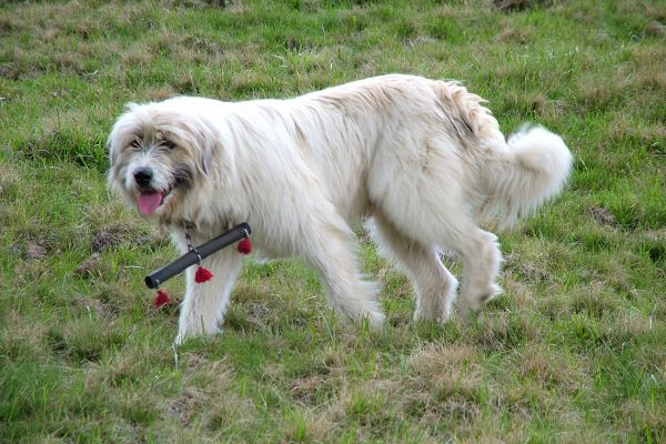 Shepherd dog in Transylvania, Romania