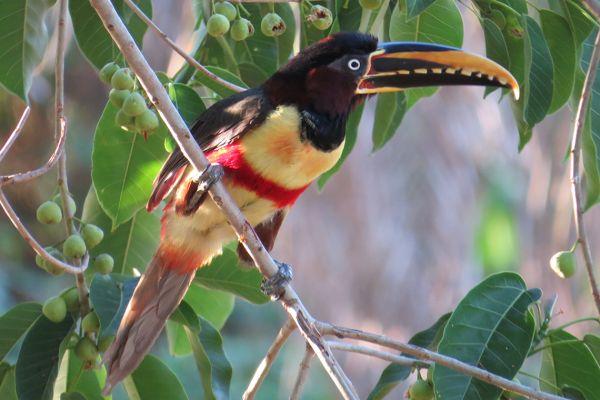 Aracari toucan, Pantanal, Brazil