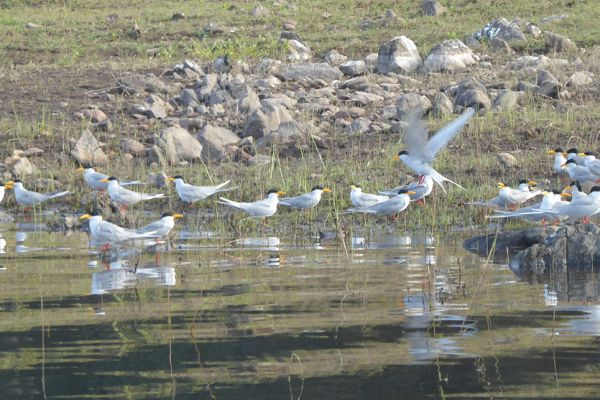 River terns in the Bhadra Wildlife Sanctuary