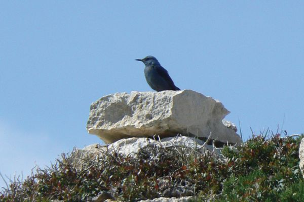 Blue rock thrush, Menorca