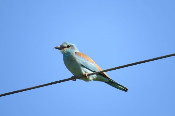 European roller in North Cyprus