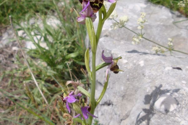 Woodcock Ophrys (Ophrys scolopax), Montenegro
