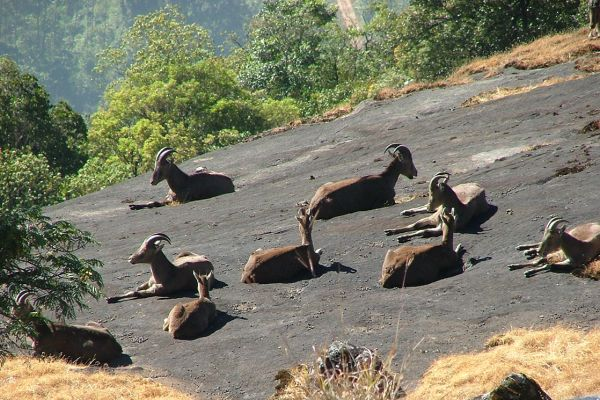 Nilgiri tahir, Western Ghats, India