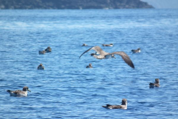 Cory's shearwaters, Azores