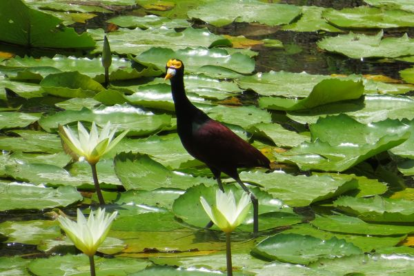Jacana (lily trotter), Costa Rica