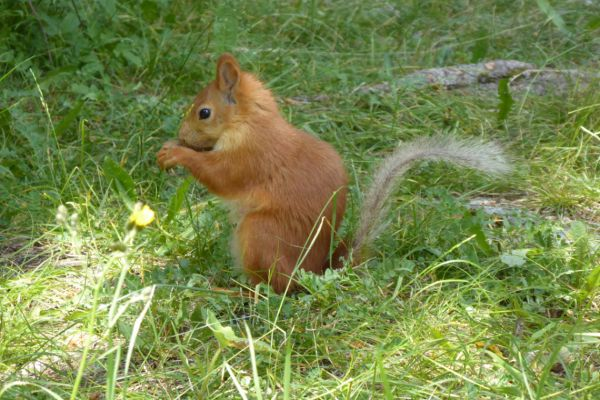 Red squirrel in Ala Archa National Park - photo by F. Fedden