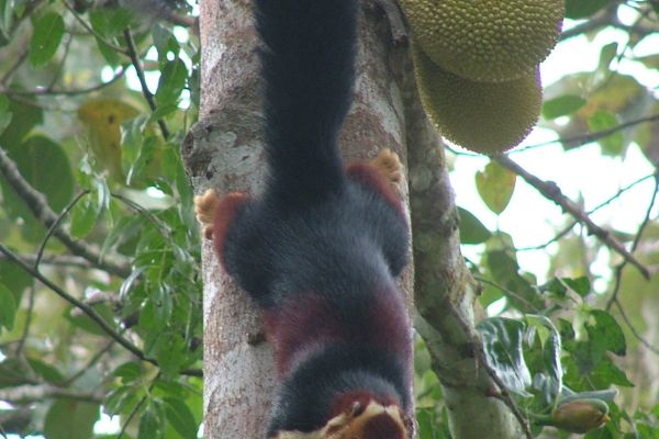 Giant Malabar squirrel, Tamil Nadu, India