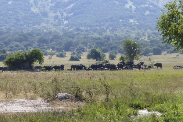 Akagera National Park, buffalos