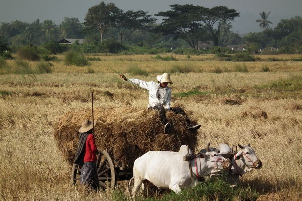 Harvest time in Myanmar (Burma)