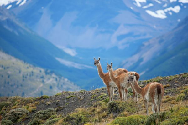 Guanaco in the Torres del Paine National Park