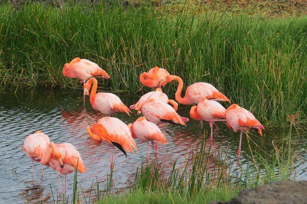 Flamingoes, the Galapagos Islands