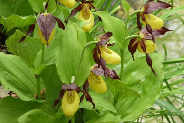 Lady's Slipper (Cypripedium calceolus), Abruzzo, Italy