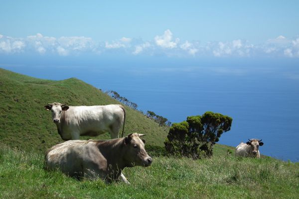 Pasture with a view, Pico, Azores