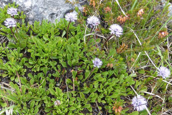 Leafless-stemmed Globularia