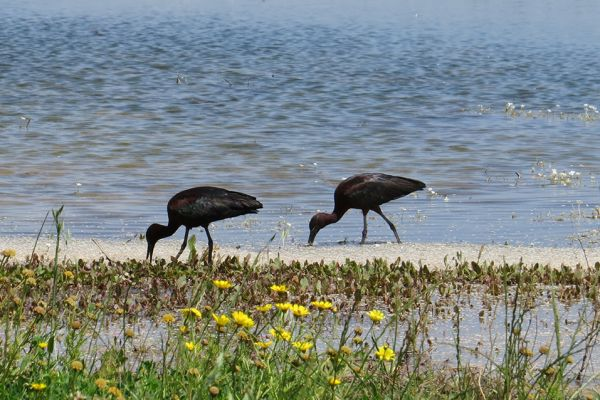 Glossy ibis in North Cyprus