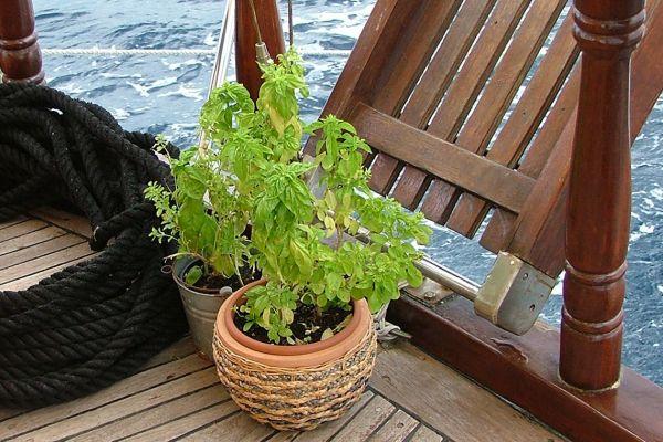 Chef's fresh herbs on deck