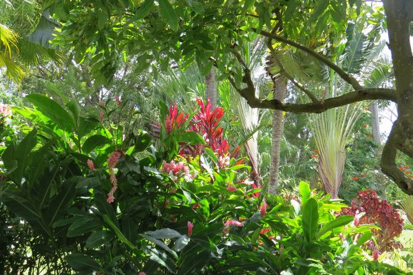 An exuberant tropical garden on Grenada
