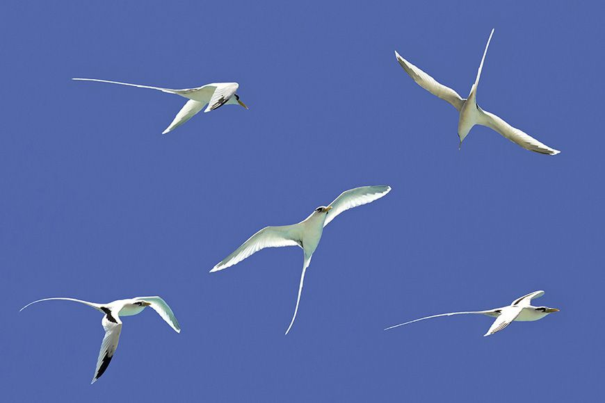 Reunion tropicbirds