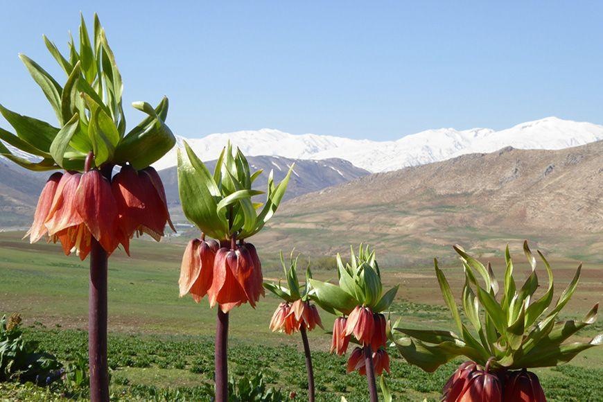 Iran frittilaria