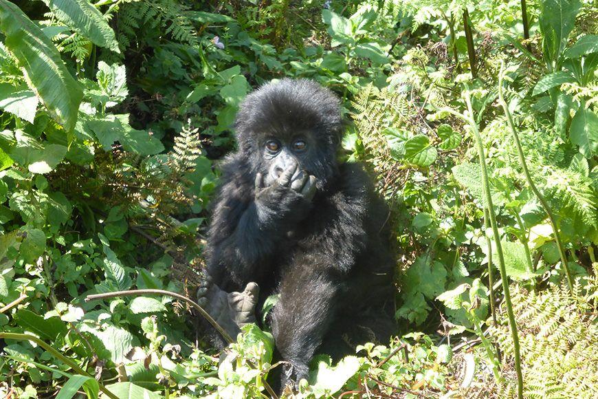 Rwanda baby gorilla