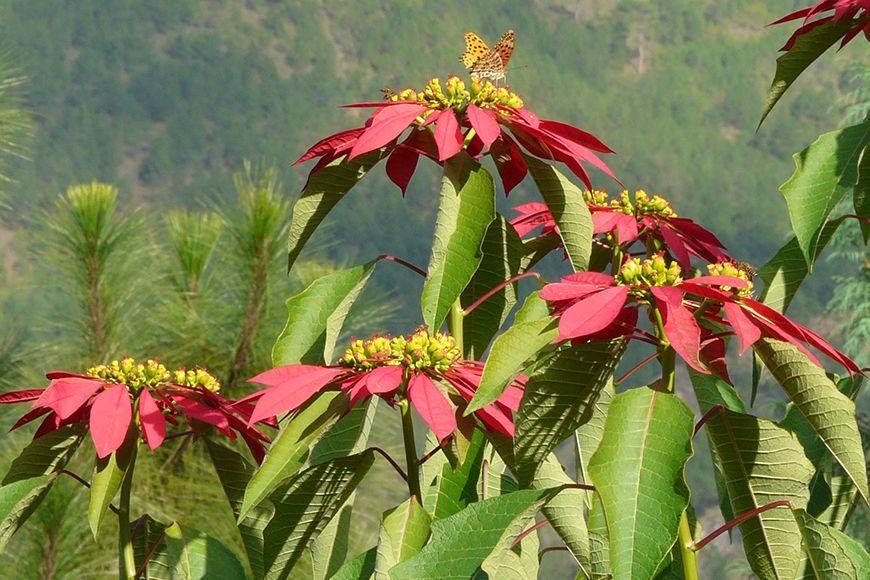 Bhutan poinsettia
