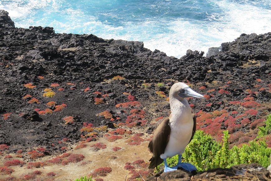 Ecuador booby