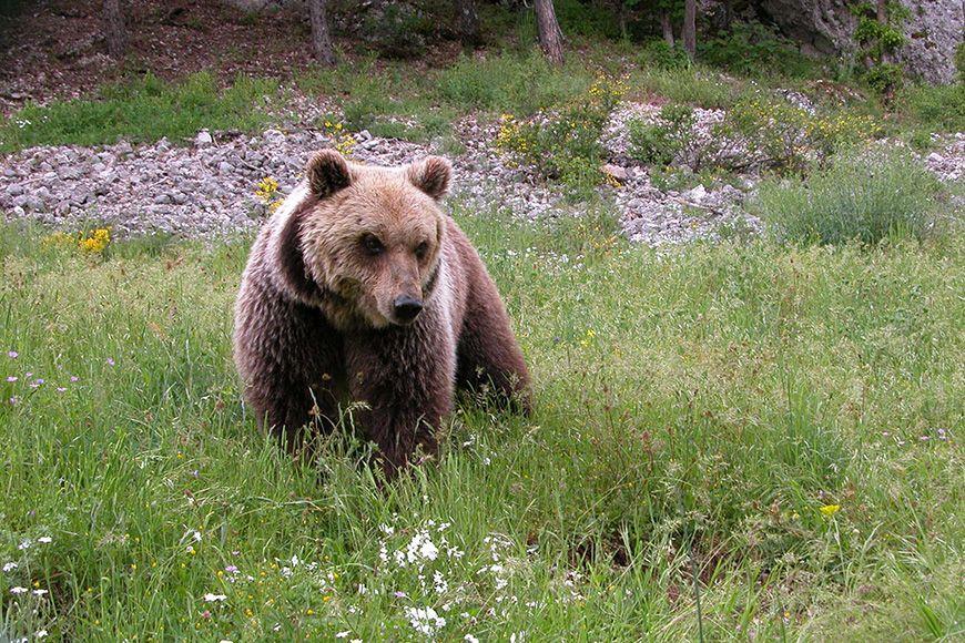 Abruzzo bear