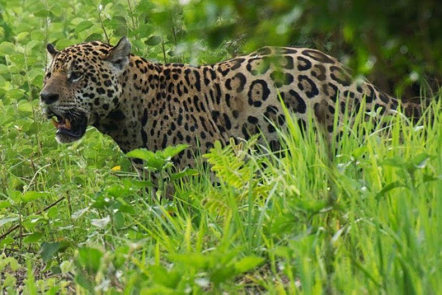 Brazil jaguar