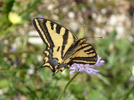 Corfu swallowtail