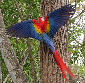 Panama -macaw