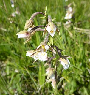 Estonia marsh helleborine